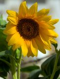 Sunflower. In nature on the sun Stock Photo