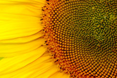 Sunflower. Close up sunflower royalty free stock image