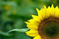 Sunflower. Beautiful, yellow sunflower green background Royalty Free Stock Photo