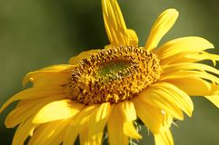 Sunflower. Close up Royalty Free Stock Image