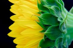 Sunflower. Macro of a sunflower shot indoors with artificial lighting Stock Images