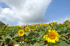 Sunflower. In a field on blue sky Royalty Free Stock Photos