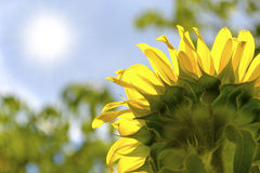 Sunflower absorbing the rays of the summertime sun Royalty Free Stock Images