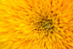 Sunflower abstract Stock Image