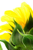 Sunflower abstract Stock Photos