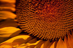 Sunflower Abstract/ Background. Macro shot of sunflower for background Stock Photos