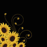 Sunflower abstract vector. Sunflower abstract with swirls and sunflowers isolated on black background Stock Photos