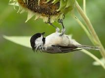 Sunflower Acrobat Stock Images
