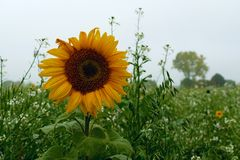 Sunflower in the afternoon in westmünsterland. Sunflower in the afternoon in westmünsterland with a field in the background royalty free stock photos