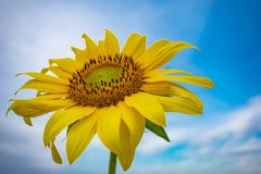 sunflower against a background of vegetation fields and other sunflowers royalty free stock photos