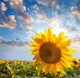 Sunflower against beautiful sky with sunbeam / summer Royalty Free Stock Photos