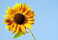 Sunflower against blue sky Royalty Free Stock Photo