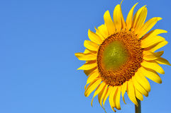 Sunflower against blue sky Stock Images