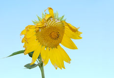 Sunflower against blue sky. Closeup with a sunflower background Royalty Free Stock Photography