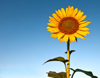 Sunflower against a blue sky. Bright yellow sunflower surrounded by a beautiful blue sky Royalty Free Stock Photos