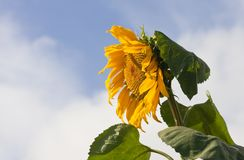 Sunflower against blue sky Stock Image