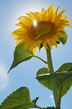 Sunflower against blue sky Stock Photos