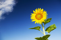 Sunflower against blue sky Royalty Free Stock Photography