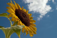 Sunflower Against Blue Sky. Sunflower against a blue sky with white fluffy cloud royalty free stock photos