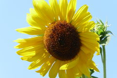 Sunflower. Against the blue sky Royalty Free Stock Image