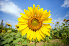 Sunflower. Against a blue sky Stock Images