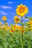 Sunflower against blue sky Royalty Free Stock Image