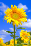 Sunflower against blue sky Royalty Free Stock Image