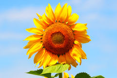 Sunflower against the blue sky. Agricultural business. Royalty Free Stock Images