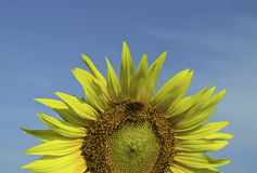 Sunflower against the blue sky Stock Images