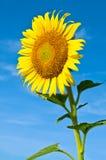 Sunflower against blue sky Stock Image