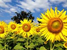 Sunflower against blue sky Stock Photography