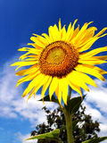 Sunflower against blue sky Royalty Free Stock Images