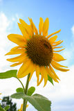 Sunflower against a blue sky is beautiful. Royalty Free Stock Photos