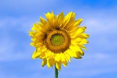 Sunflower against a blue sky Stock Photos