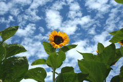 Sunflower against a blue sky. Stock Image