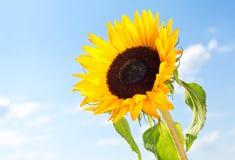 Sunflower against a blue sky Stock Image