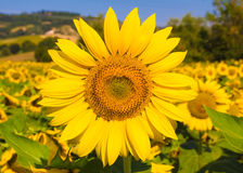 Sunflower against a blue sky Royalty Free Stock Photography