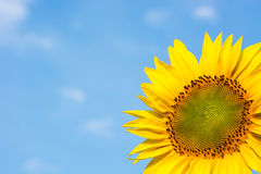 Sunflower against the blue sky. Royalty Free Stock Photography