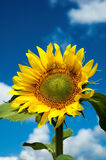 Sunflower against a blue sky and clouds royalty free stock image
