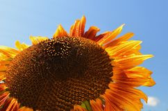Sunflower against blue sky. Copy space. stock image