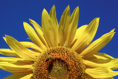 Sunflower against a blue sky Royalty Free Stock Image