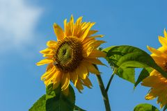 Sunflower Against Blue Sky. Sunflower Helianthus with insects against a blue sky Royalty Free Stock Photos