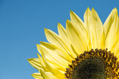 Sunflower against a blue sky Stock Images