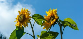 Sunflower Against Blue Sky Panorama. Panorama of two Sunflowers Helianthus with insects against a blue sky Stock Images