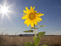 Sunflower against blue sky single Stock Photos