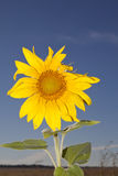 Sunflower against blue sky single Royalty Free Stock Image