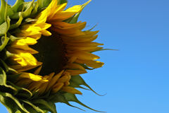 Sunflower against the blue sky. Solar flower Royalty Free Stock Photography
