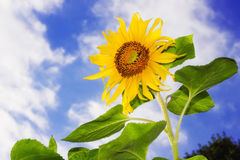 Sunflower against blue sky Stock Photography