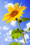 Sunflower against blue sky Stock Images