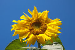 Sunflower against the blue sky Stock Image